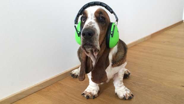 Hund mit Lärmschutzkopfhörern